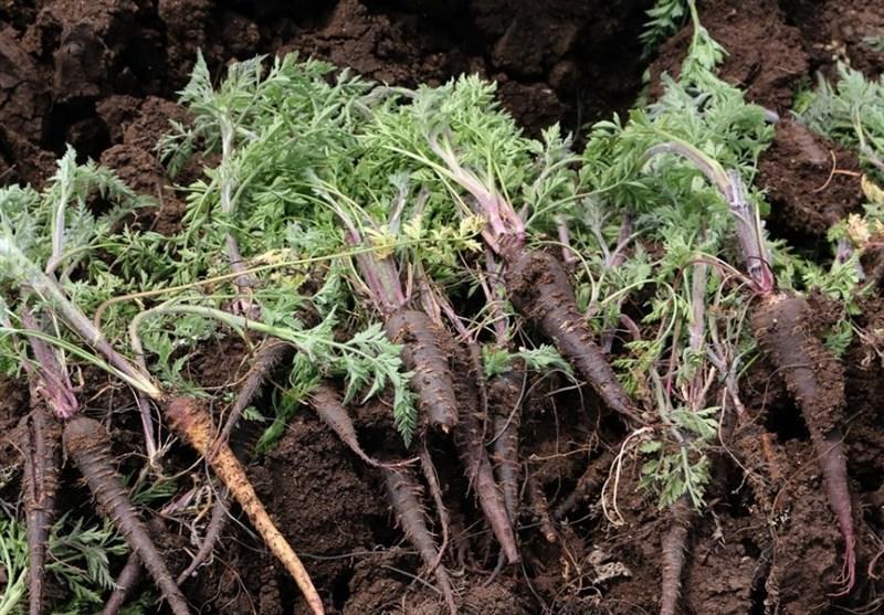 برداشت هویج سیاه در ترکیه